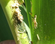 Aphids on maize plant (Pic A85)