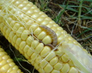 Stalkborer on maize cob (Pic S55)