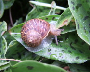 Garden brown snail (Pic G99)