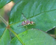 Cucurbit fly resting on rose leaf (Pic C20)