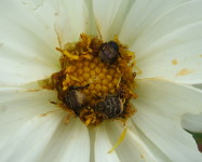 Monkey beetles on dahlia flower (Pic M55)