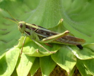 Locust (adult ) on sunflower (L80)