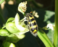 Lunate blister beetle (Pic L20)