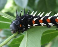 Cussonia Emperor larva on cabbage tree (Pic C80)