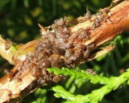 Cypress aphids on conifer branch (Pic C70)