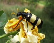 CMR (Blister) beetle on rose flower (Pic C55)