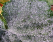 Powdery mildew cucumber (P11)