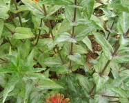Powdery mildew Zinnia (P13)