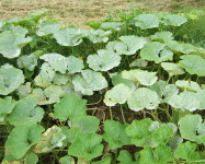 Powdery mildew pumpkin (P14)